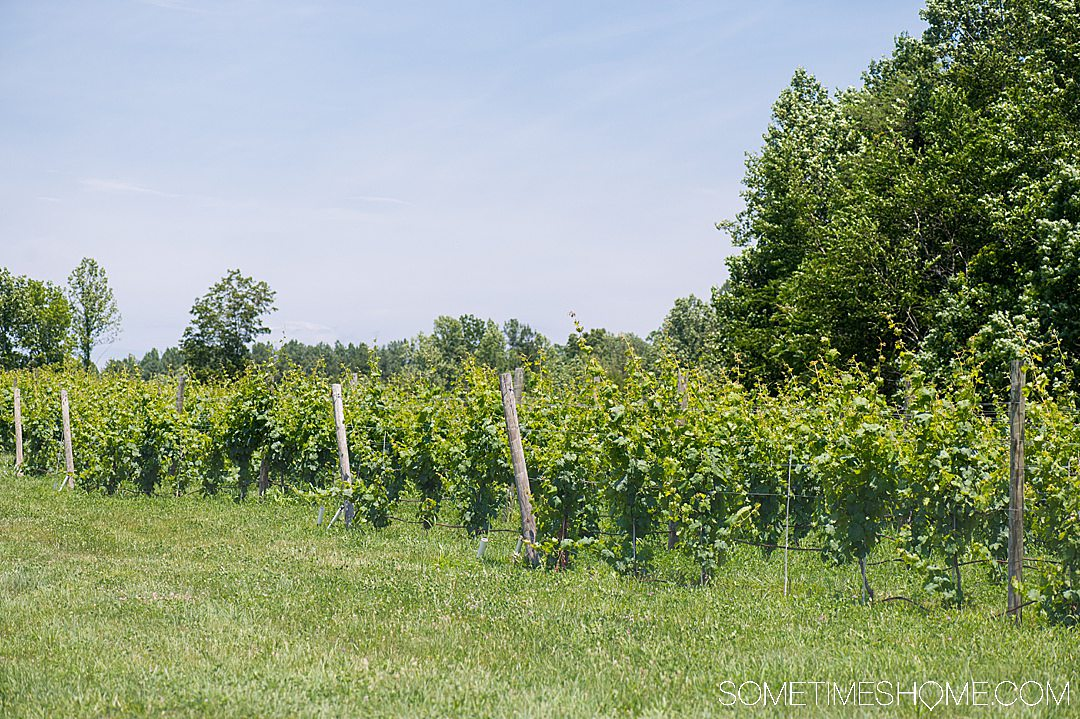 Green lush rows of grapes on the vine at Mount Ida Reserve vineyard.